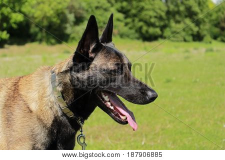 Shepherd from Malinois tired of having worked