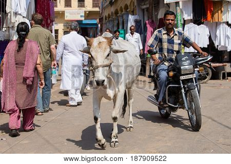 PUSHKAR INDIA - OCTOBER 28 2014: cow and crowd in main market road This road is main street for tourist