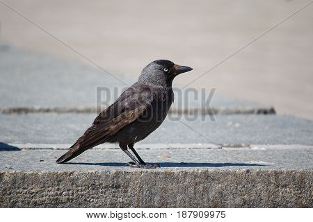 Gray jackdaw in the city street. Birds