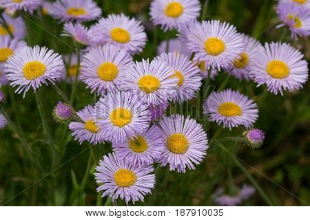 Violet asters grow in a meadow. Flowers