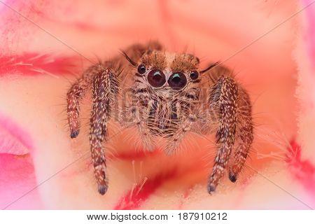 Super macro female Hyllus diardi or Jumping spider on Desert Rose