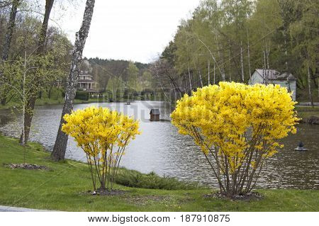 Landscape design, plants and trees near lake. Flower bloom. Spring. Forsythia
