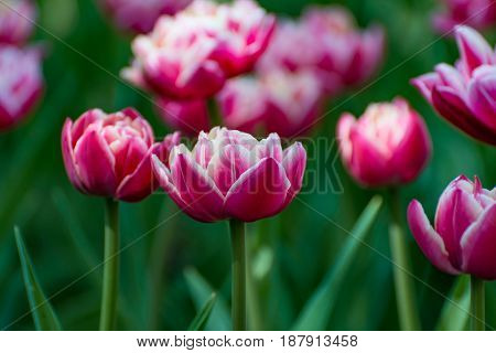 There Are Many Magenta And White Tulips In The Spring Garden.