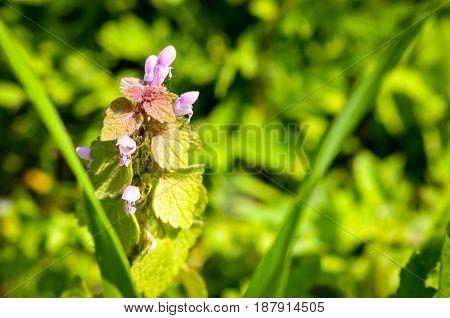 Lamium Purpureum wild weed growing on meadow