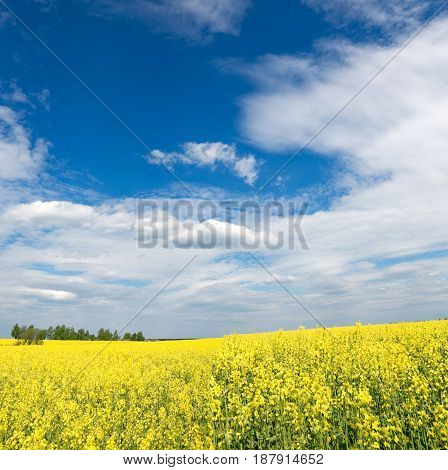 Yellow Rapeseed Field Against The Sky With Clouds