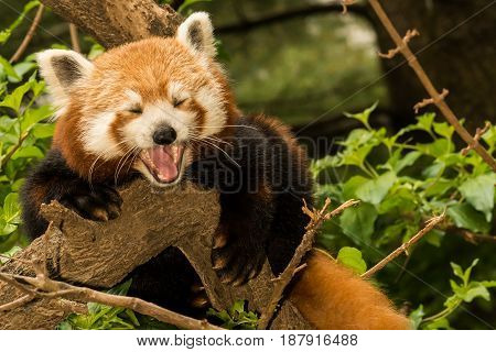 A young Red Panda climbing in a tree.