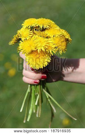 Bouquet of dandelions in hand on green