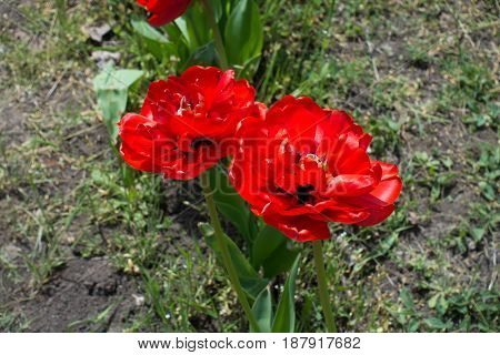 Two Double Red Flowers Of Tulip In Spring