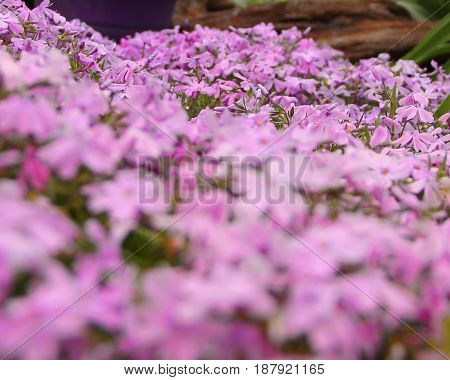 Beautiful creeping Phlox covering the ground in a garden with focus on the back flowers.