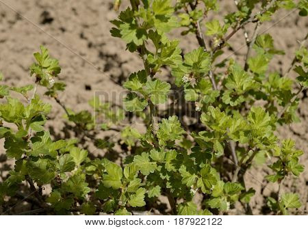 natural hedge grow forest field flora vegetable wall flowers flower fresh tree agriculture texture bush foliage green gooseberry leaf nature plant leaves garden food ivy spring