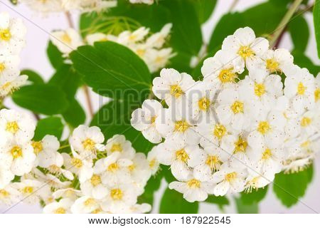 Flowers of Spirea aguta or Brides wreath as background close-up.