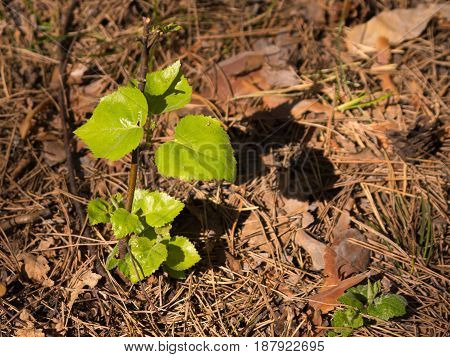 Young fresh green leaves of a sapling lit with sun in the forest on a spring or summer day