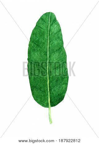Hand drawn watercolor tropical banana leaf isolated on the white background
