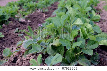 growth potato herb natural grow field gardening bush forest tree organic spring lettuce farm plants fresh leaves vegetable green strawberries plant garden nature leaf agriculture food