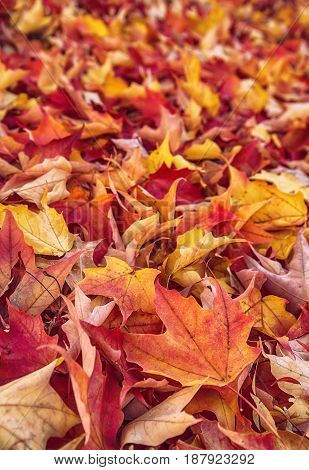 Colorful autumn leaves nature background shallow depth of field