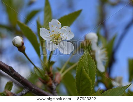 blossoming pink season leaf outdoor petal floral bud plant garden beauty bloom green macro blooming apple flower spring tree blossom white nature flowers cherry branch