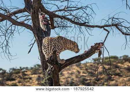 Leopard feeding. An African spotted leopard climbed a tree. The pieces of meat for him are laid out on the branches. The concept of exotic and extreme tourism. Travel to Namibia