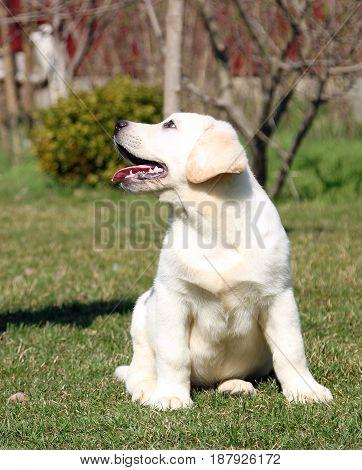 Yellow Happy Labrador Puppy In Garden