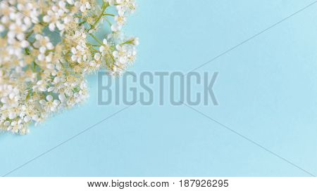 Spring White flowers on a blue background. Soft focus