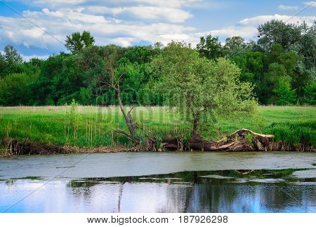 Beautifully on the shore of a swamp trees and green grass grow on a background of a forest under a blue sky with clouds