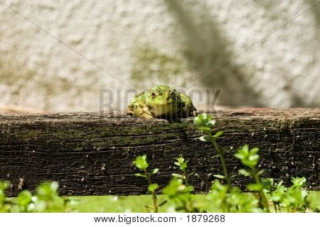 Frog On Trunk