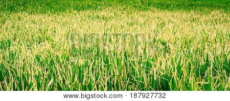 Marsh grass bright green natural background very beautiful