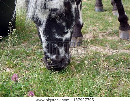 Grazing pony , Beatiful pony horse on the green meadow