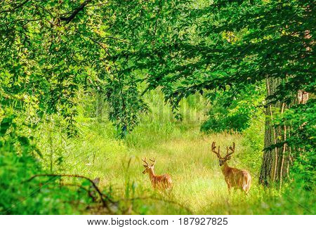 Whitetail Deer Bucks in summer velvet standing in an opening in the woods.