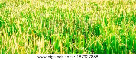 Very bright natural background marsh grass just magical