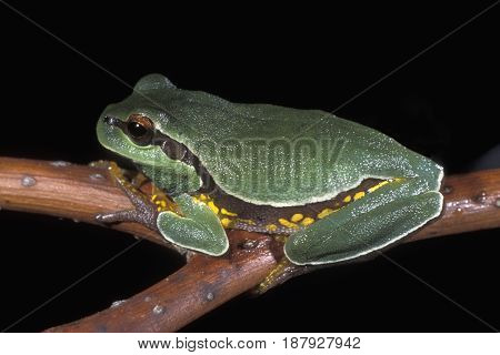 A Pine Barrens Tree Frog on a tree branch at night