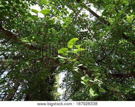 Green leaves ginkgo biloba , ginkgo - tree with green leaves
