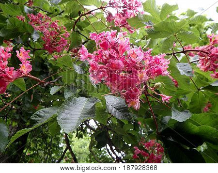flower - red horse chestnut , (Aesculus carnea)