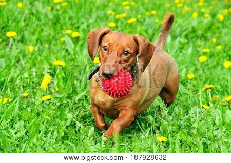 A dachshund dog runs with the ball. A dog of the breed is a standard smooth-haired dachshund, the color is red.