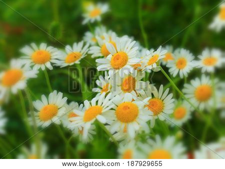 daisies,wildflowers