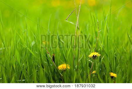 summer landscape after rain. dandelions in the wet grass