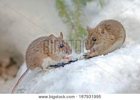 Cute Field Mouse