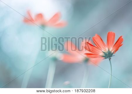 Delicate cosmos flowers on a beautiful background.