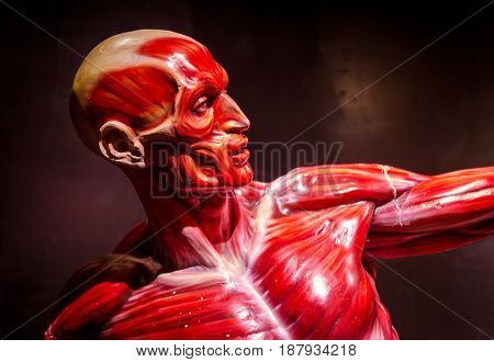 human muscles anatomy model on black
