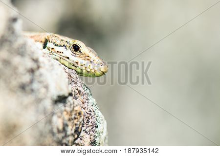 Lizard Reptile Podarcis Siculus Head detail fra the stones