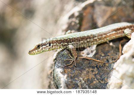 Lizard Reptile Podarcis Siculus in the stones