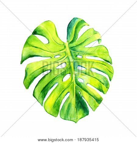 A leaf of a tropical plant. Monstera, philodendron - ampel plant, liana. Watercolor illustration. Isolated flower.