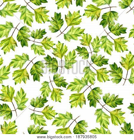 A leaf of a tropical plant. Ivy Cissus - ampelnoe plant, liana. Watercolor illustration. Texture for scrapbooking, wrapping paper, textiles, web page, wallpapers, surface design, fashion