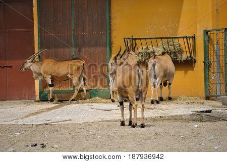 Four standing Eland antelopes, or Taurotragus oryx.