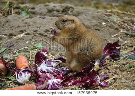 Close up of black tailed prairie dog (Cynomys ludovicianus) eating vegetables.