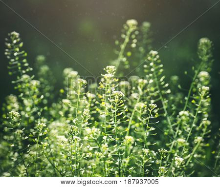 Close-up of field flowers in a meadow backlit by the sun. Green grass on the sunny meadow under the bright sun