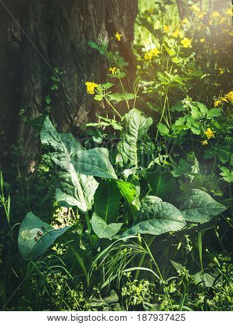 Big green burdock in a forest, yellow field flowers on the background, selective focus. The morning sun illuminating burdock. The stream flowing through the leaves.