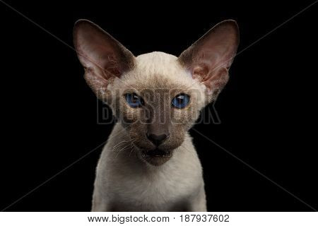 Portrait of Brown Peterbald Kitten with Dark blue eyes, on isolated black background, front view