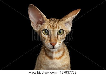 Portrait of Ginger Peterbald Kitten with Curious face and ears, on isolated black background, front view