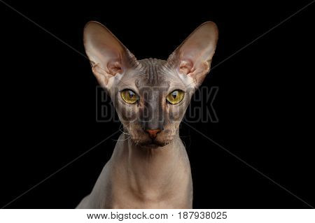 Portrait of Peterbald naked Cat Looking in camera with magic Yellow eyes on isolated black background, Front view