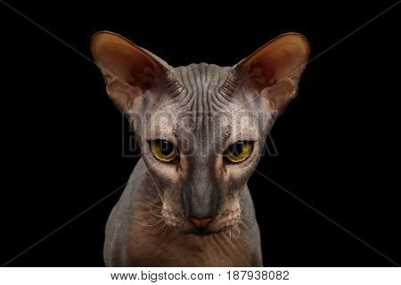 Portrait of Peterbald naked Cat Gazing in camera with magic Yellow eyes on isolated black background, Front view